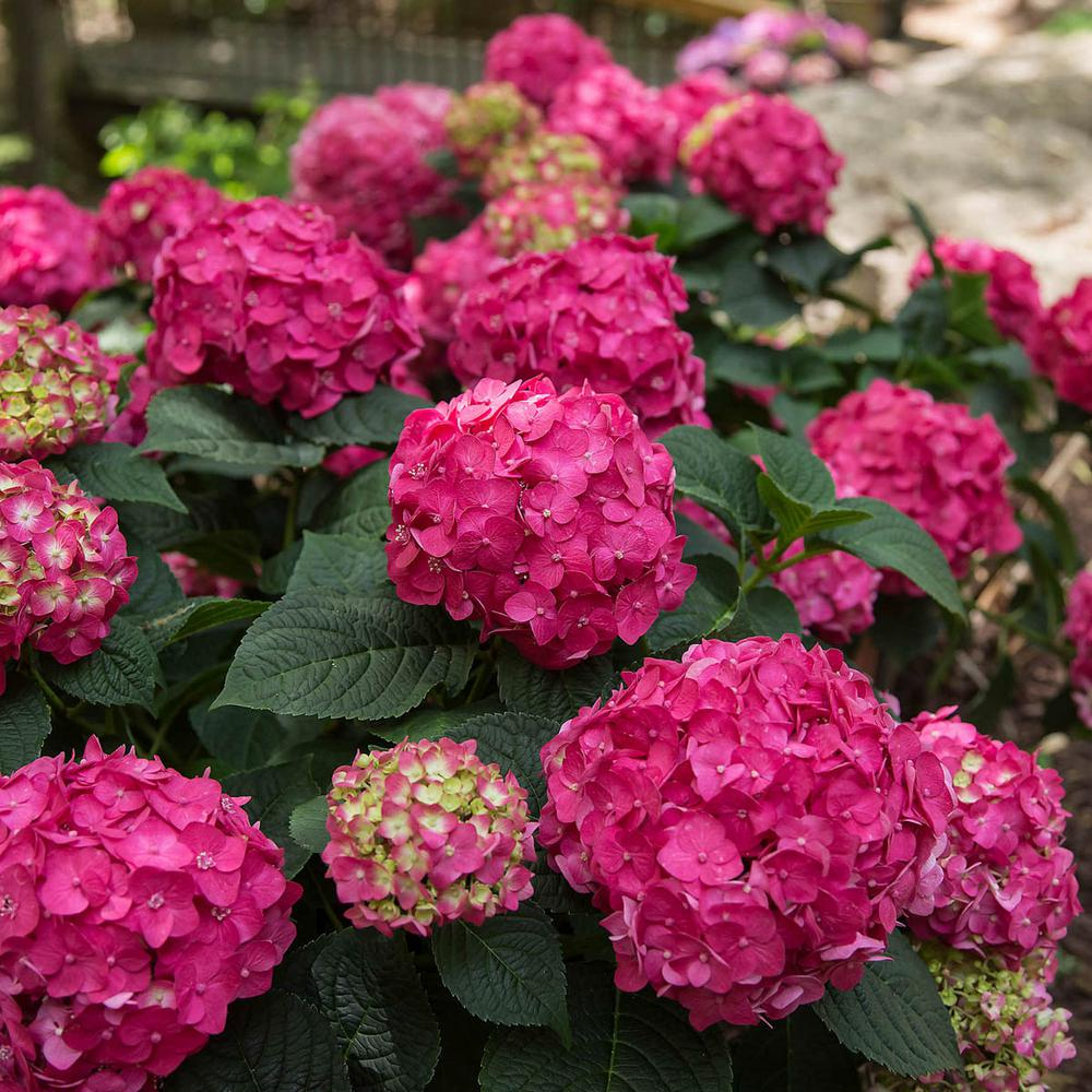 Spring Hill Nurseries 4 In Pot Summer Crush Hydrangea Live Potted Plant With Red Flowering Shrub 1 Pack 62431 The Home Depot Summer Hydrangeas Spring Hill Nursery Endless Summer Hydrangea