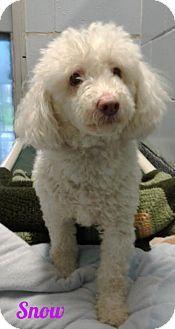 New Jersey Nj Poodle Miniature Meet Jackson Nj Snowy A Dog For Adoption Http Www Adoptapet Com Pet 18087359 New Miniature Poodle Pets Dog Adoption