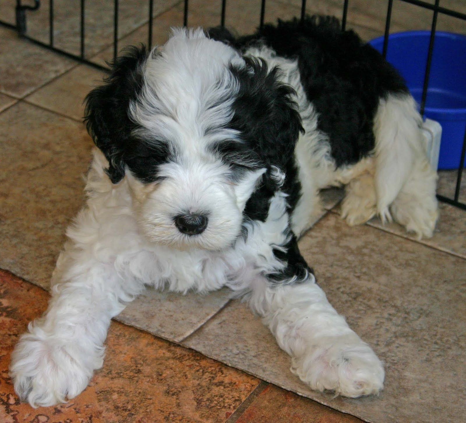 Black And White Portuguese Water Dog Puppies Portuguese Water