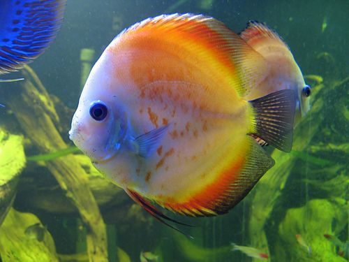 How To Care For Cichlid The Cichlid Fish Has A Very Colorful Appearance Which Makes Them One Of The Most Popular Fish To Discus Fish Aquarium Fish Cool Fish