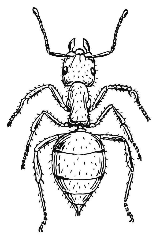 Disegni Da Colorare Animali Formica.Immagini Di Formiche Da Colorare Cerca Con Google Formiche