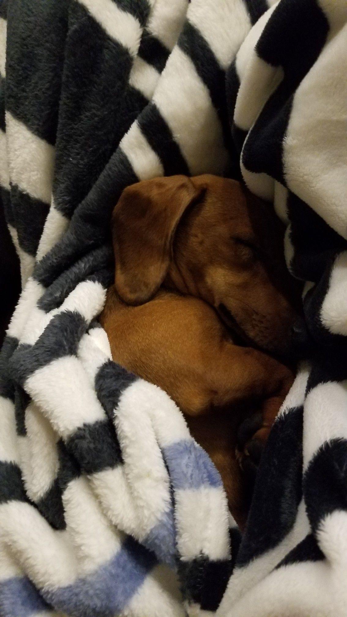 Dapple Dachshund Puppies Iowa