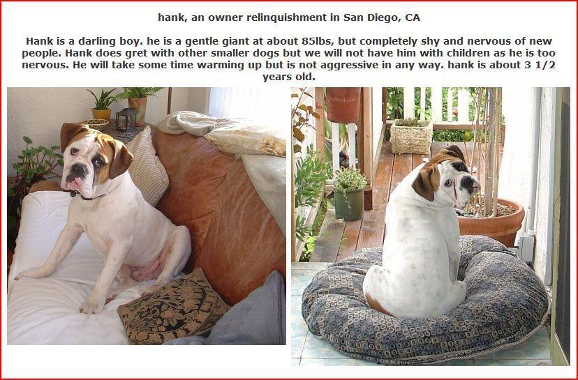 hank the bulldogge for adoption French bulldog rescue