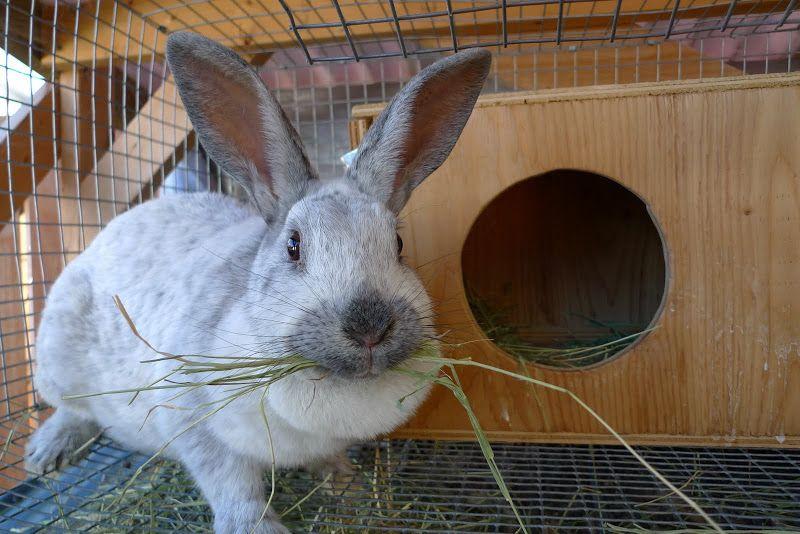 Raising Champagne D'Argent Rabbits Backwoods Mama Pet