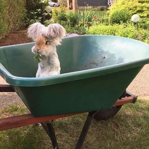 Conejo de angora ingles
