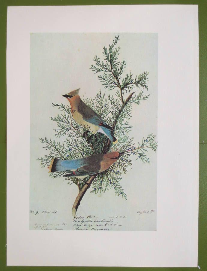 John Audubon Vintage Bird Print Audubon Watercolor Print Cedar