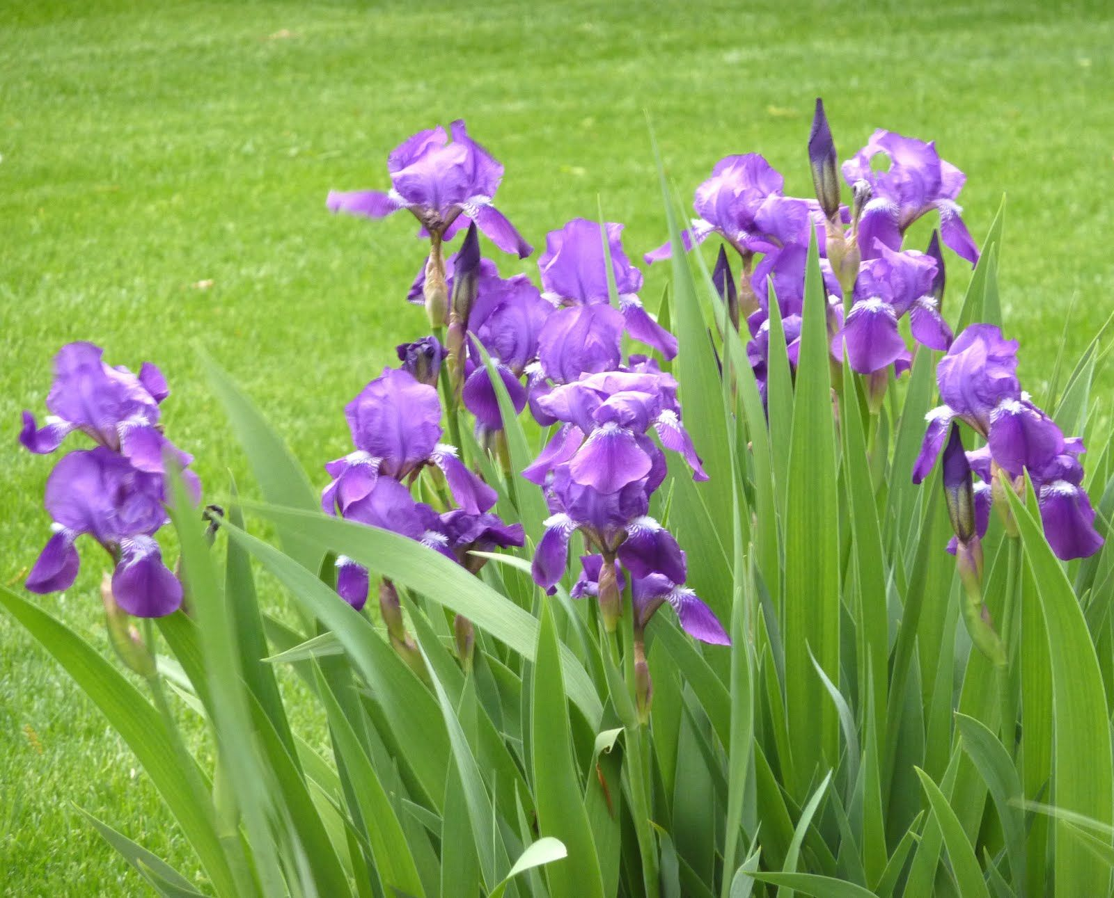 Purple iris meaning dgreetings com describes the purple iris as purple iris meaning dgreetings com describes the purple iris as follows a purple iris izmirmasajfo