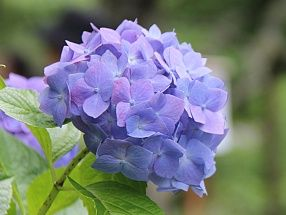 Hydrangeas First Discovered In Japan The Name Hydrangea Comes From The Greek Hydor Meaning Water And Angos Mean With Images Flower Delivery Flowers Ny Florist