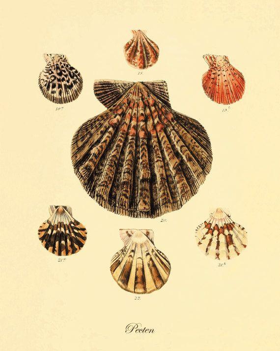 Sea shell Beach decor ocean life Natural History antique wall art ...