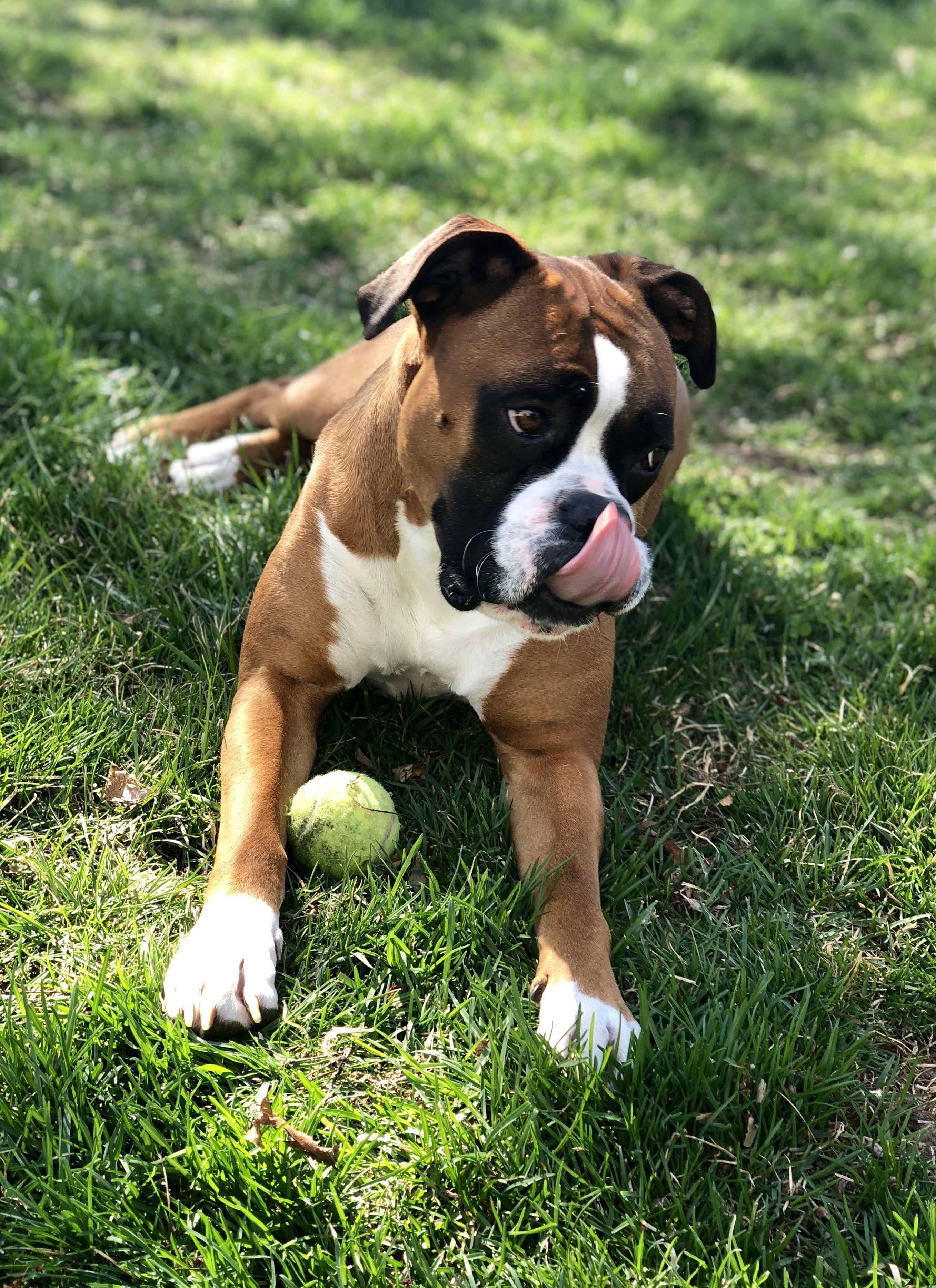 Beautiful boxer boy boxer dogs dog photos personal