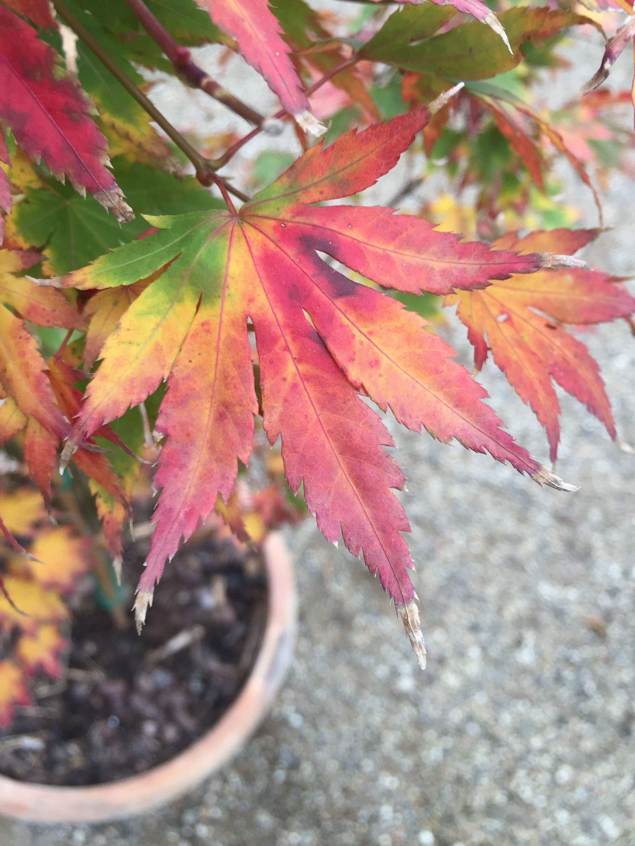 Pin By Michael Wilkins On K M Yard Japanese Maple Garden Acer Palmatum Katsura Acer Palmatum