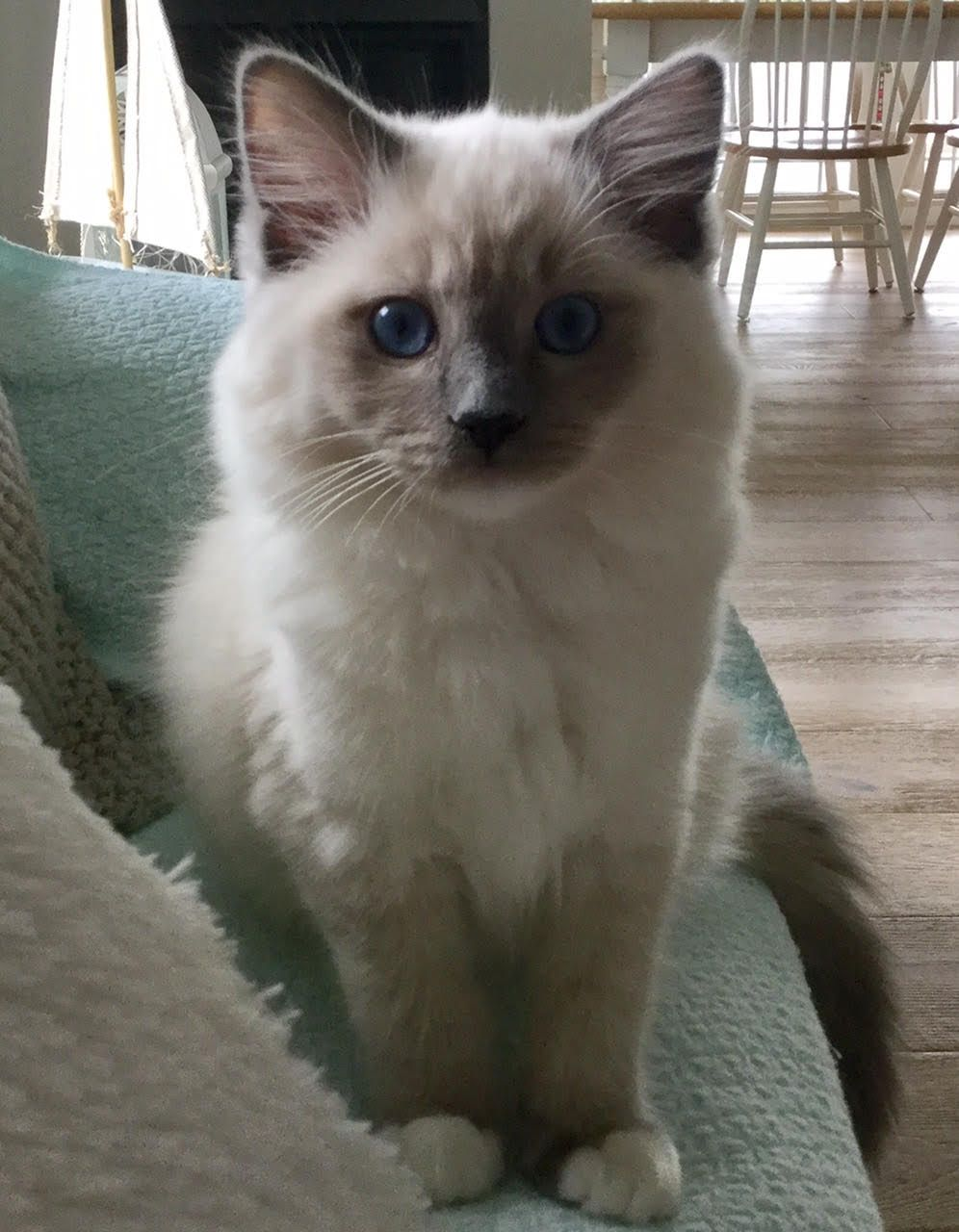 Tessa & Mitzi – Ragdoll Kittens of the Month https://www ...