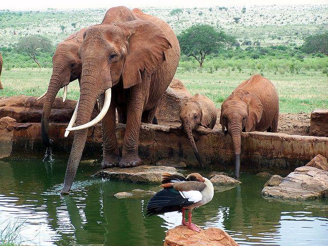 Safari Tsavo East National Park Kenya #Kenya #Tsavo #park #elephant