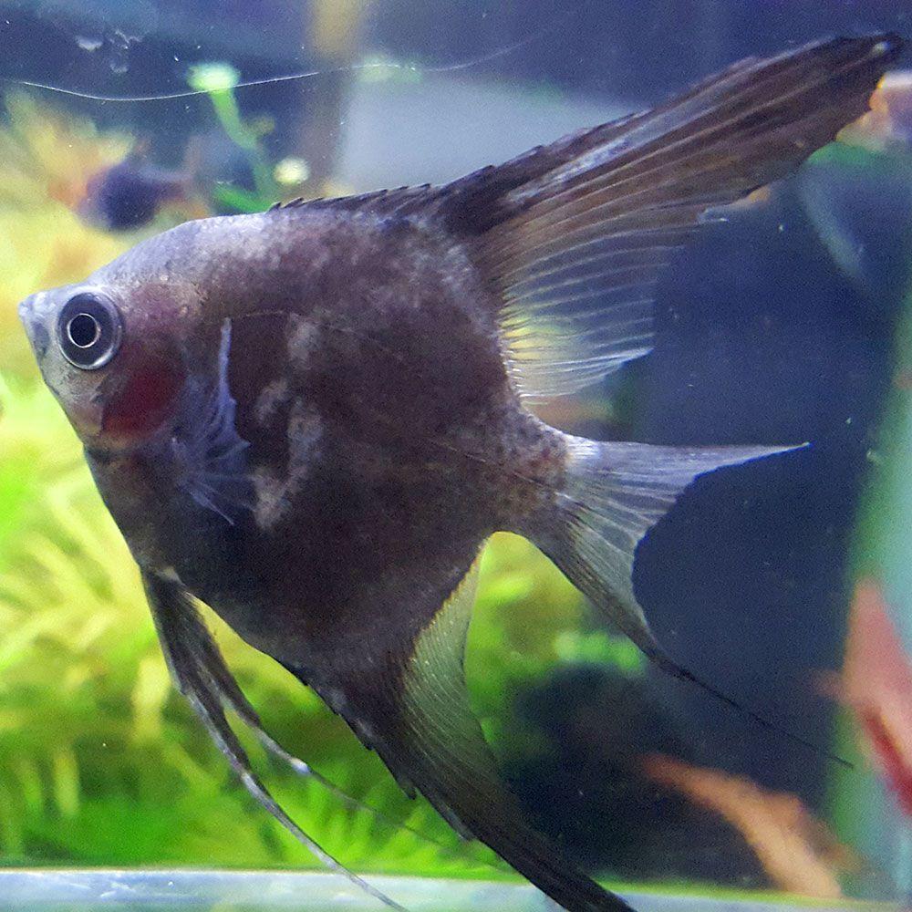 Freshwater fish hobby -  10 Blue Smoke Angelfish Smokehobbyangelfishbeautiful Fishfreshwater