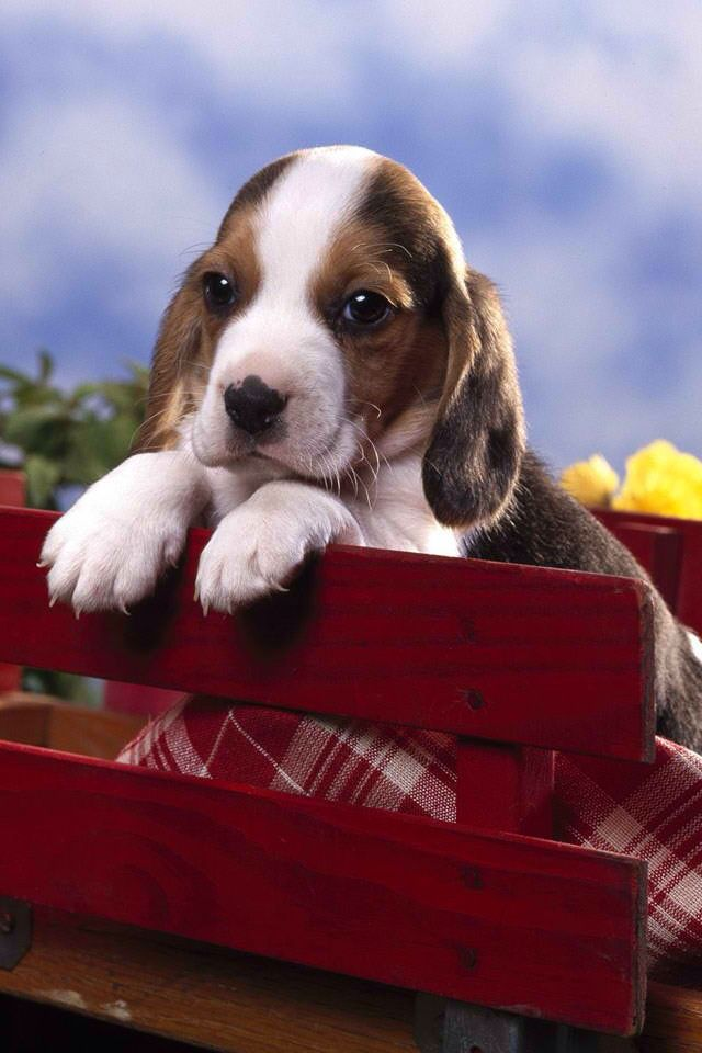10000+ Wallpapers HD Beagle puppy