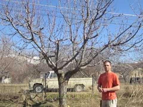 How To Prune A Cherry Tree Cherry Fruit Tree Cherry Tree Growing Fruit Trees