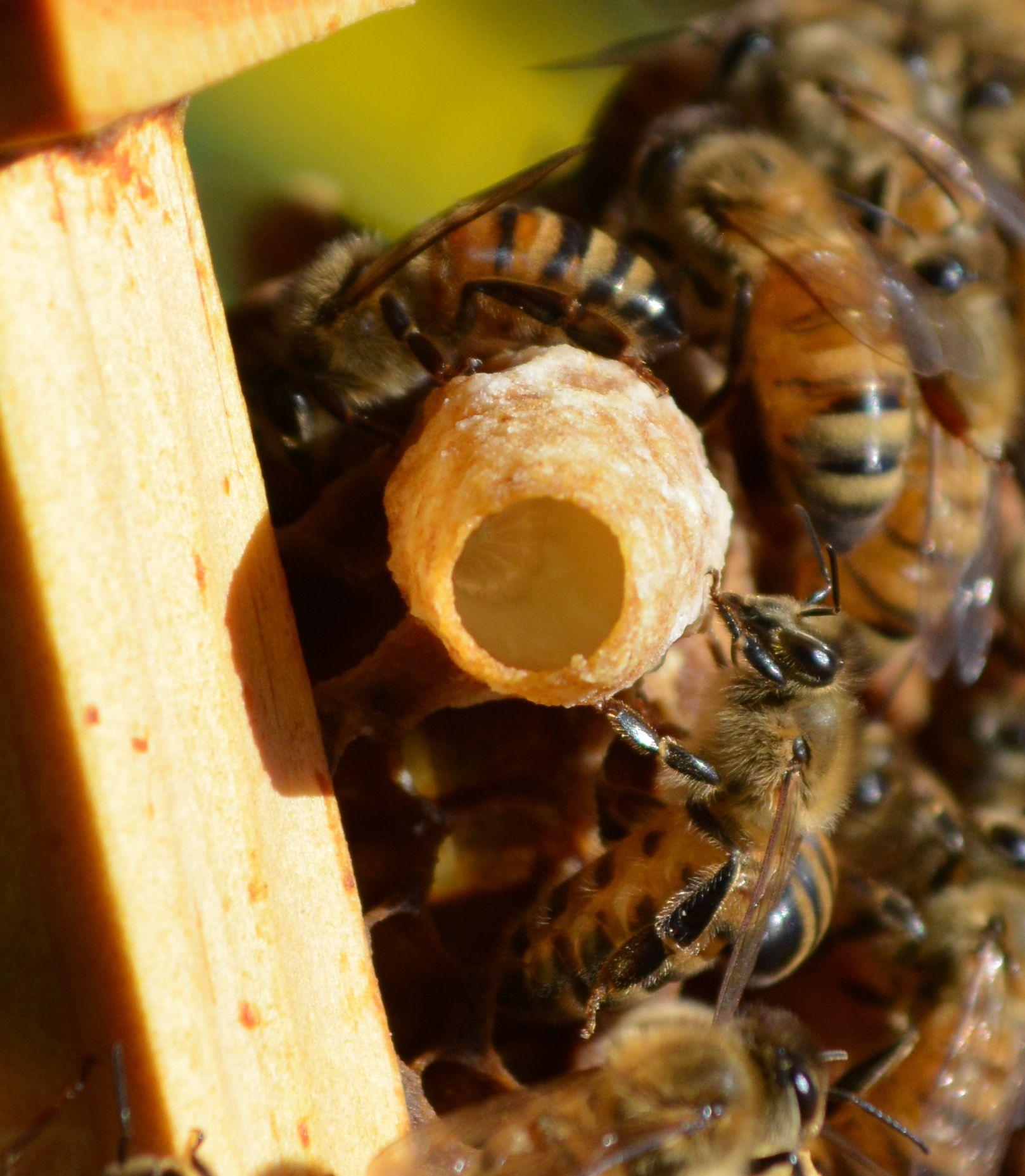 481c4944305060e2e4c18620e8643b64 - How To Get Rid Of Small Hive Beetle Larvae