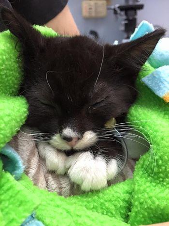 Re Tiny Kitten Cassidy Walks With Own Wheelchair Tiny Kitten
