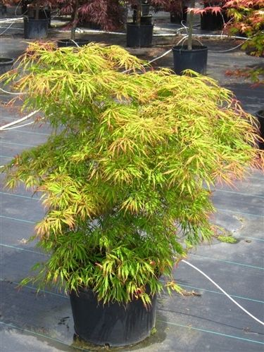 Acer Palmatum Spring Delight Japanese Maple Japanese Maples
