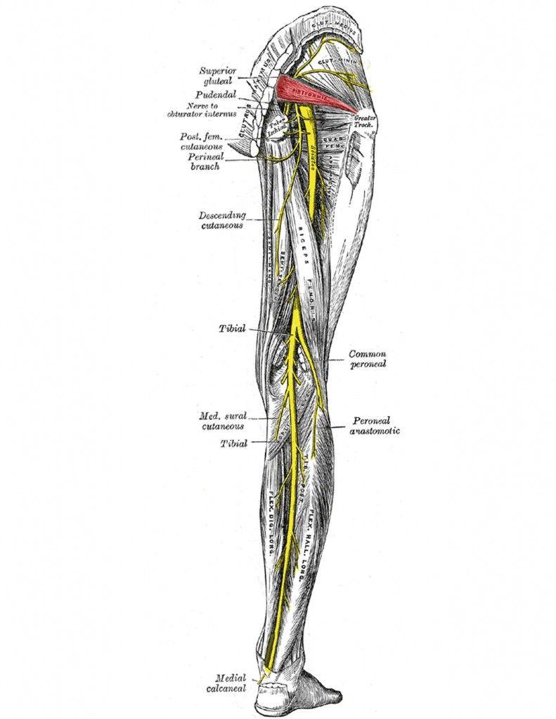 piriformis syndrome...relationship to sciatic nerve. #