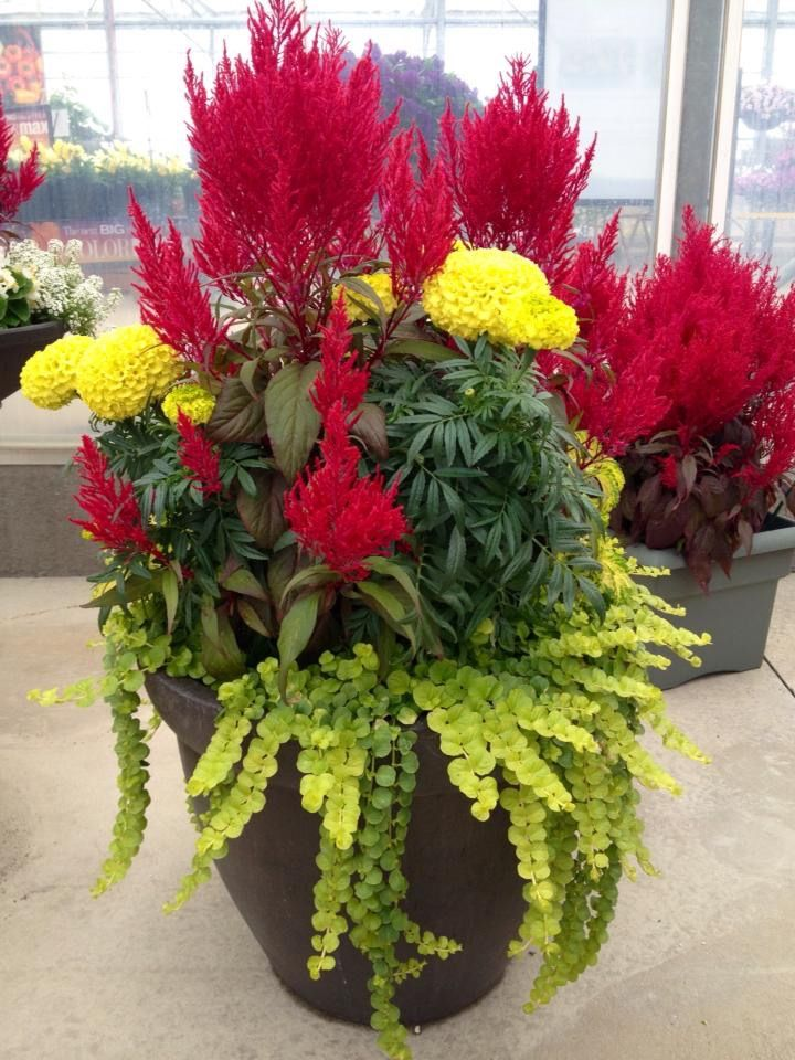 Marigolds Creeping Jenny And Dragons Breath Container Flowers Flower Pots Outdoor Fall Container Gardens
