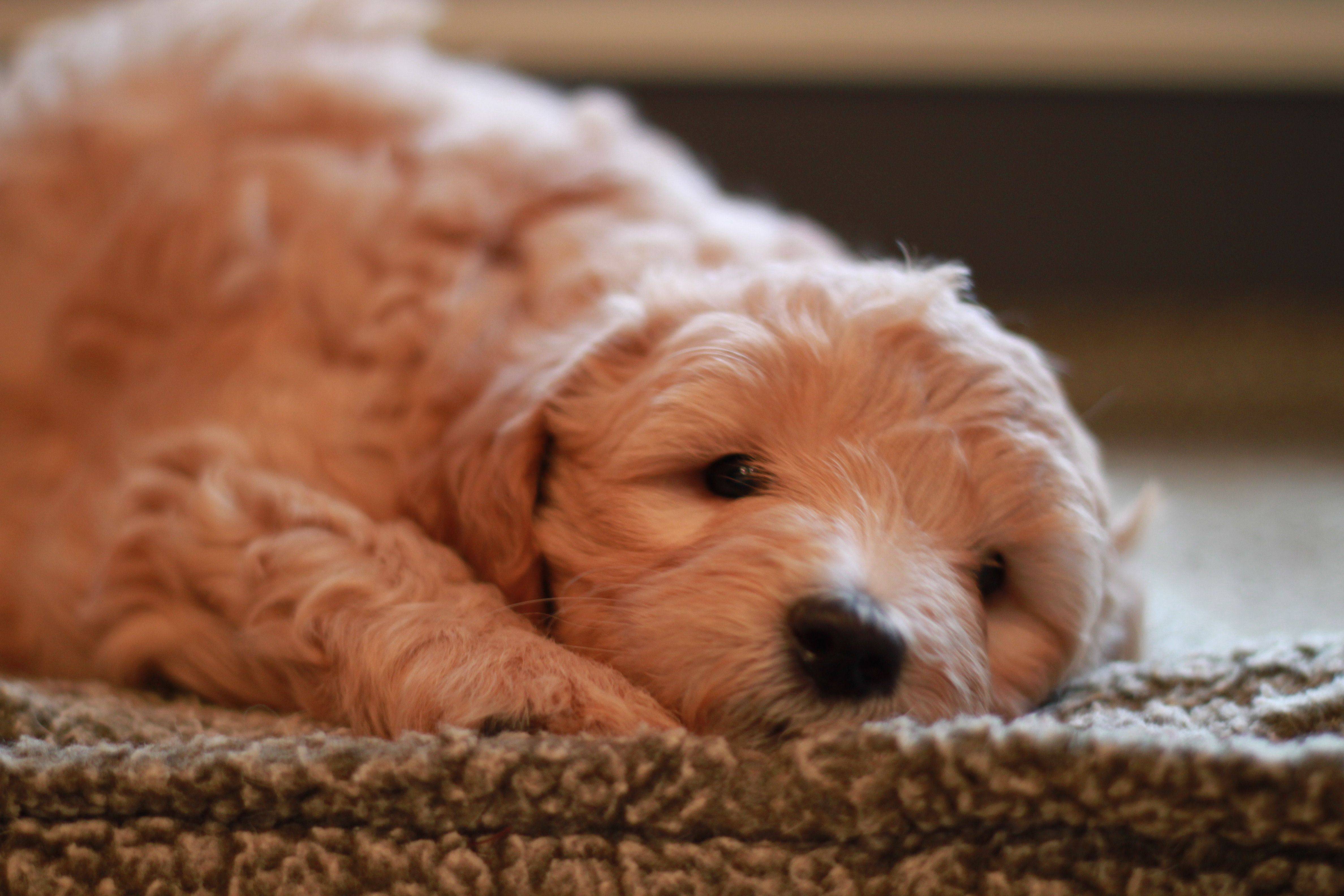 Honey the goldendoodle puppy from river valley doodles