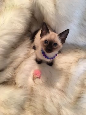 Siamese Kittens Cats Kittens For Sale In Chicago Ebay Classifieds Kijiji Page 1 Kittens Siamese Kittens Cats And Kittens