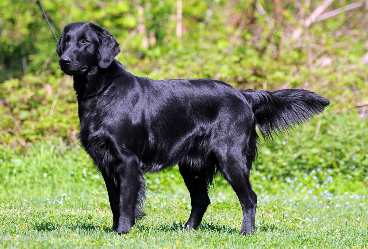 Flatcoat retrievers: The dogs that are