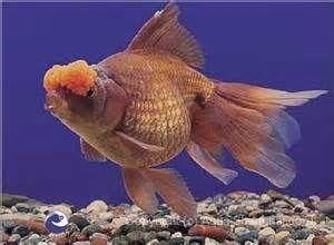 Pom Pom Goldfish Goldfish Pet Fish Aquarium Fish