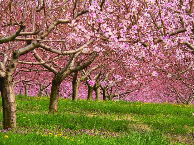 The Cherry Orchard Cherry Orchard On Pinterest Trees Prunus And The Cherry Orchard Garden Inspiration Orchard Garden Spring Wallpaper