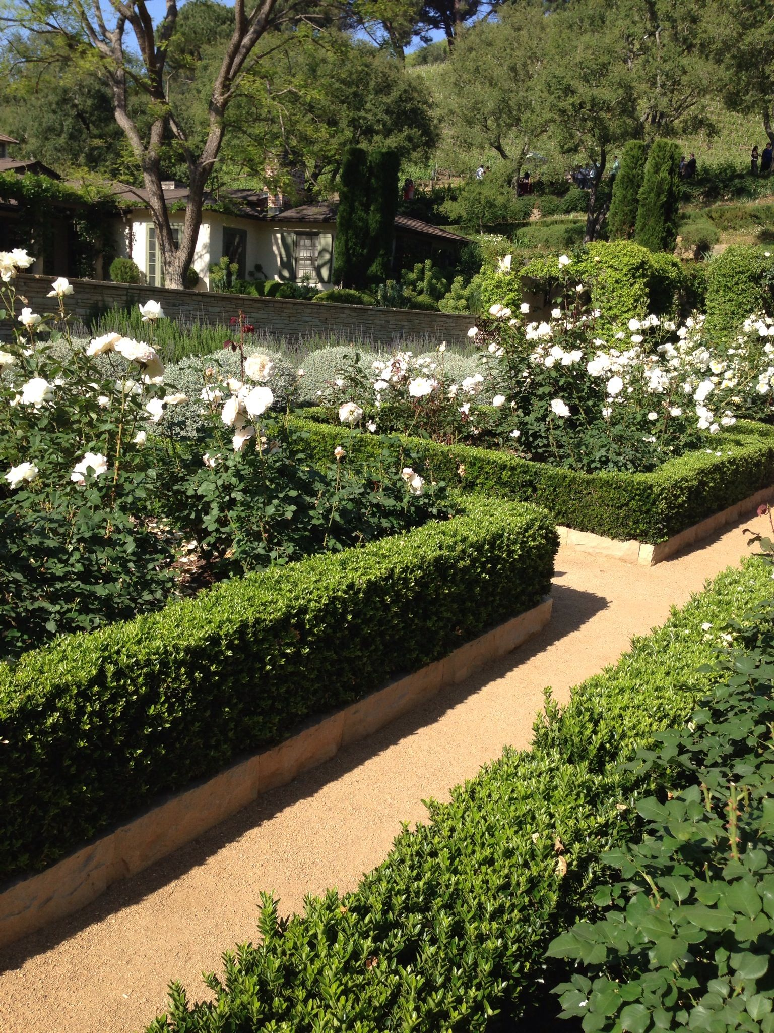 White Roses and box hedge For Outside Pinterest White roses