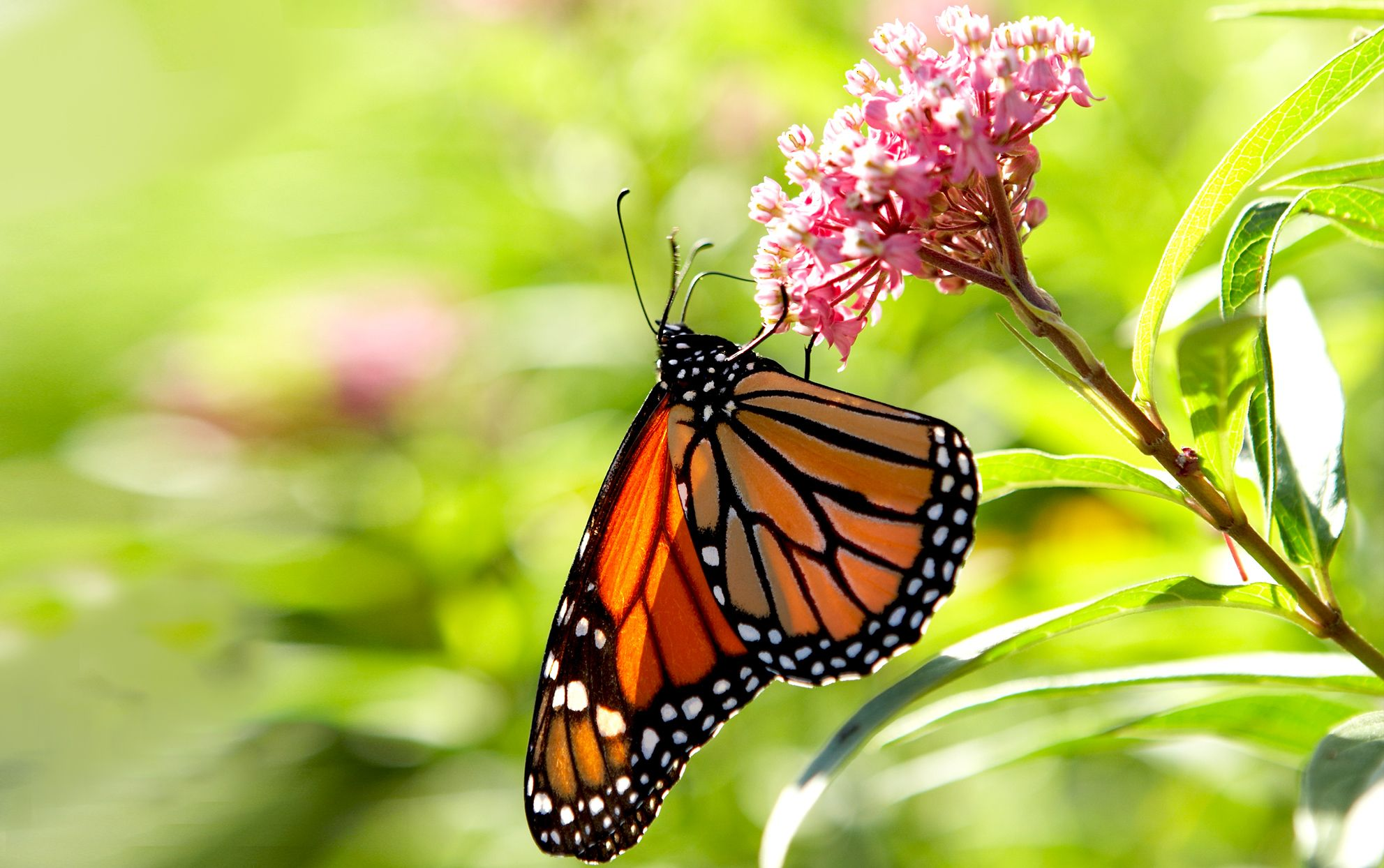 Here's How You Can Get Free Milkweed Seeds to Help