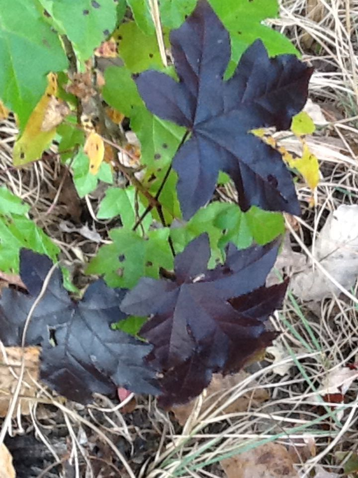 Dark Leaves Of The Sweet Gum Tree Sweet Gum Plants Autumn Walks