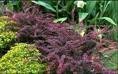 Barberry Rosy Glow Landscaping tips, Garden plants