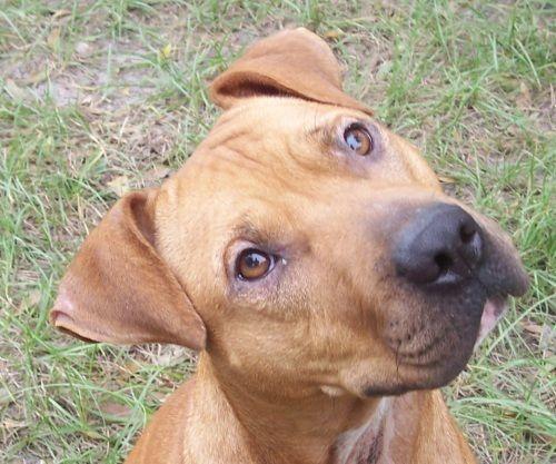 I Found Sasha Bryn On Black Mouth Cur Black Mouth Cur Dog Dogs