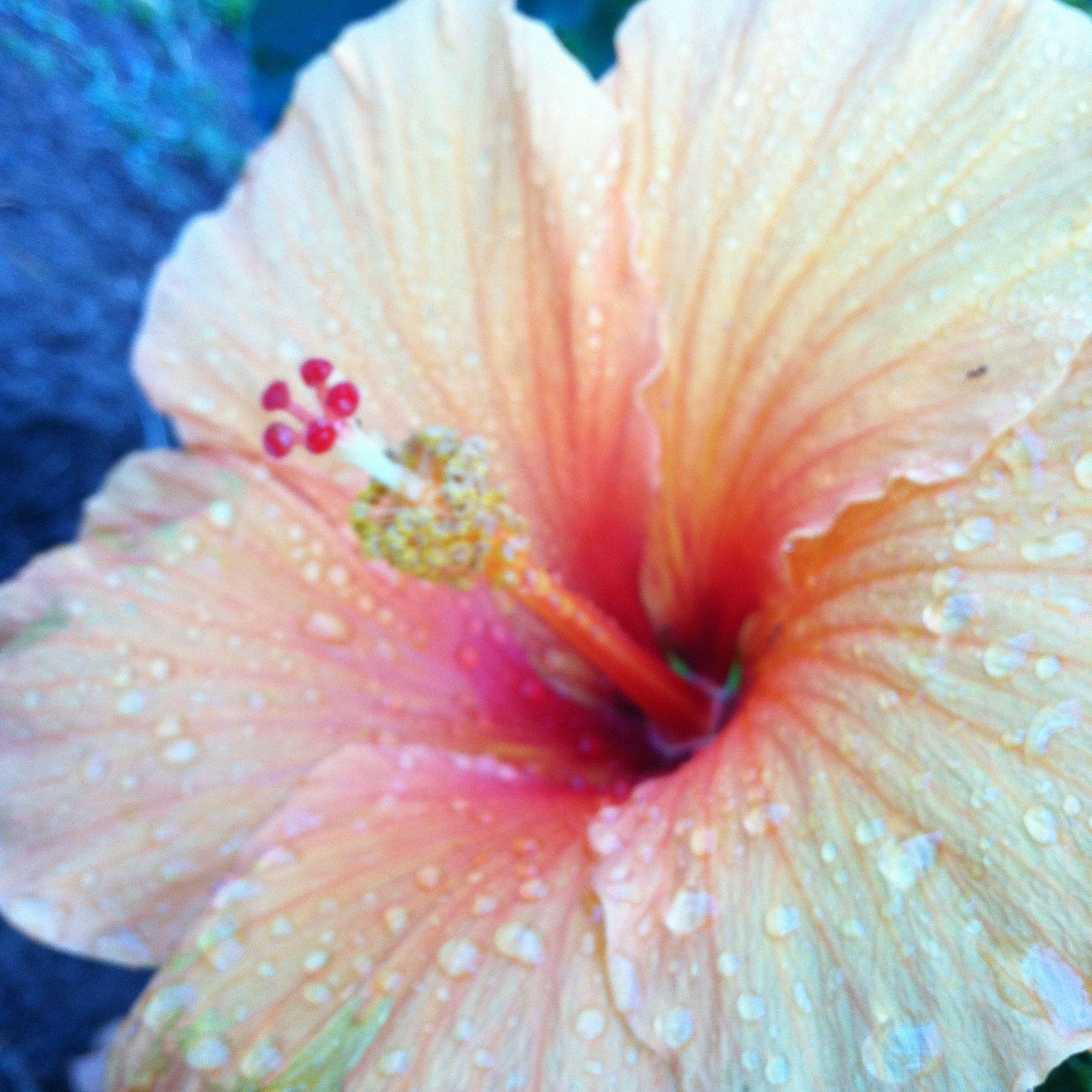 Light colored (pastel) hibiscus :) | Na Pua O Aloha | Pinterest ...