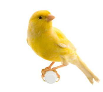 Yellow Canaries For Sale Sydney Canary Birds Birds For Sale Canary