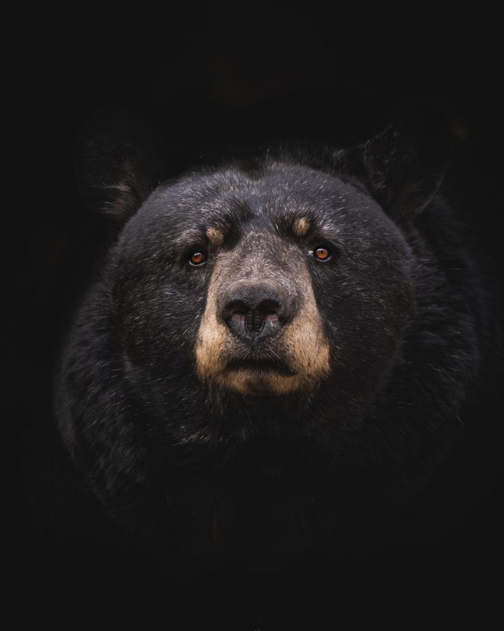 Black Bear Download This Photo By Marc Olivier Jodoin On Unsplash Black Bear Bear Pictures Animals