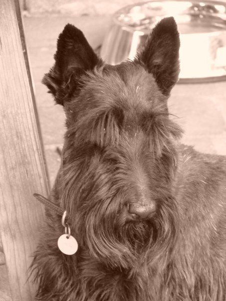 Scottie Jinx....such a handsome dog.