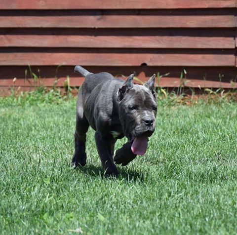 Cropped Cane Corso Dogs Puppies For Sale In Uk Cane Corso For Sale Cane Corso Dogs