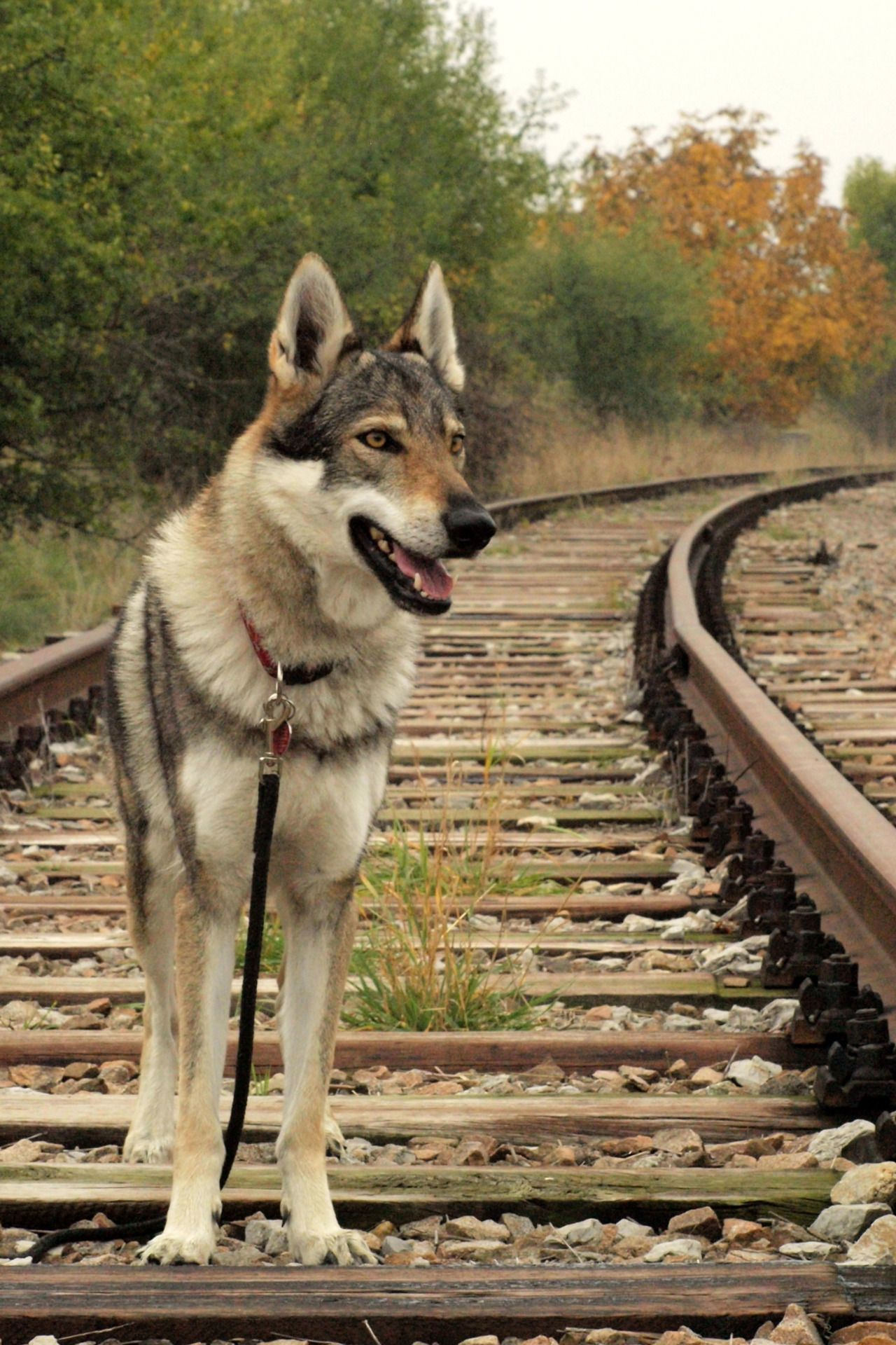 czechoslovakian wolfdog dogs are family hunde sind familie pinterest. Black Bedroom Furniture Sets. Home Design Ideas