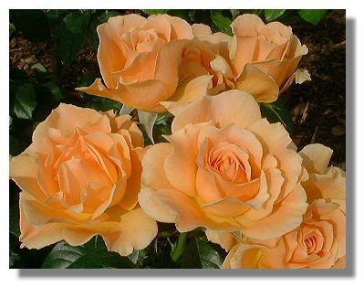 Easy Going Rose Smelling Flowers Flowers