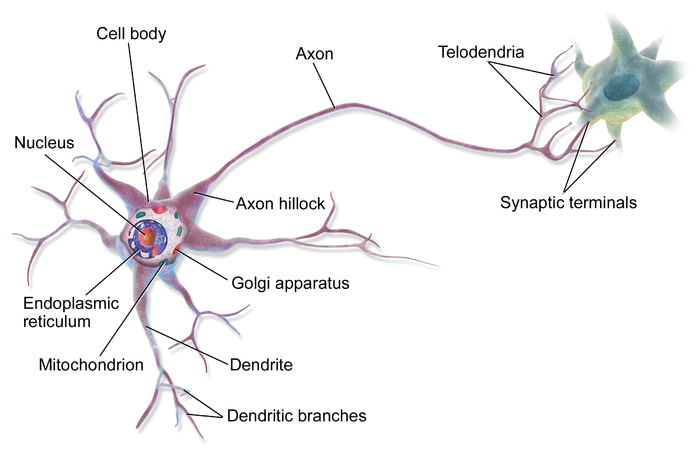 This Image Depicts A Neuron It Depicts Many Parts Of The Cell It