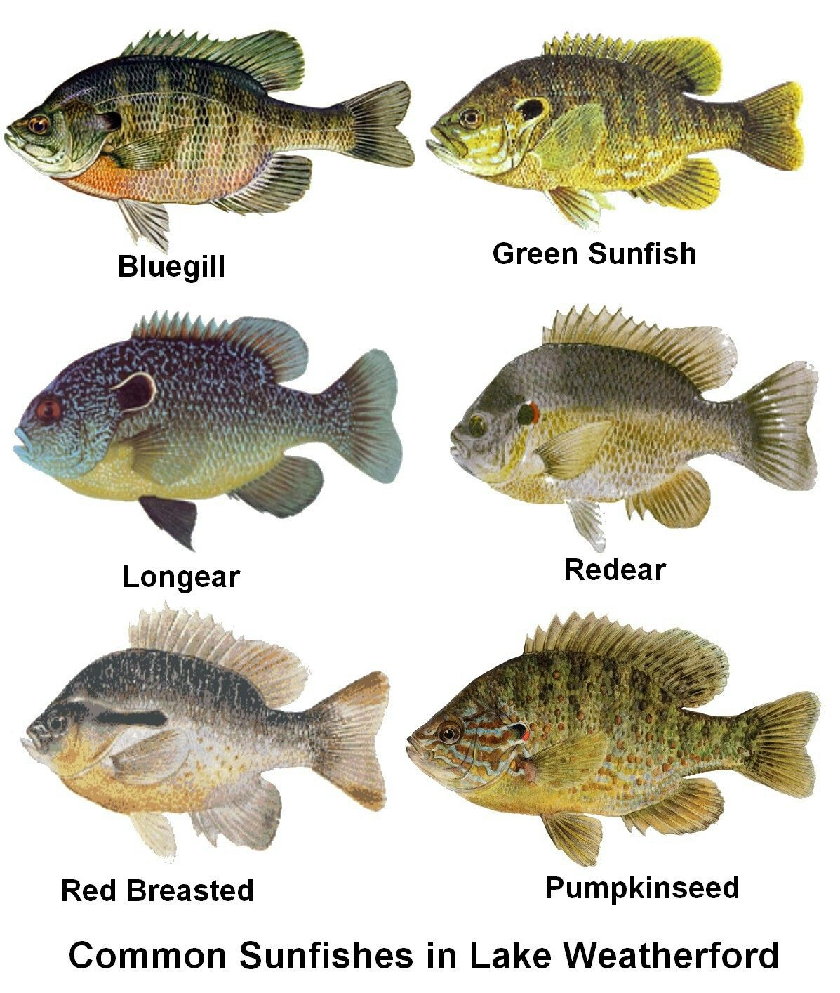 Swamp fish redbreas | Suk Project | Fish, Saltwater fishing