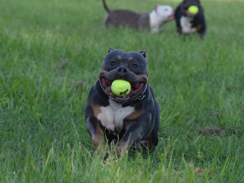 Champagne Lilac Blue Tri Colored American Bully Puppies