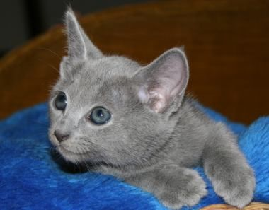 Blog About Cats Russian Blue Kittens Russian Blue Kitten