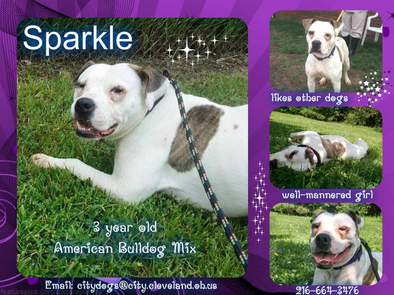 Meet Sparkle American Bulldog Mix Email Citydogs City Cleveland