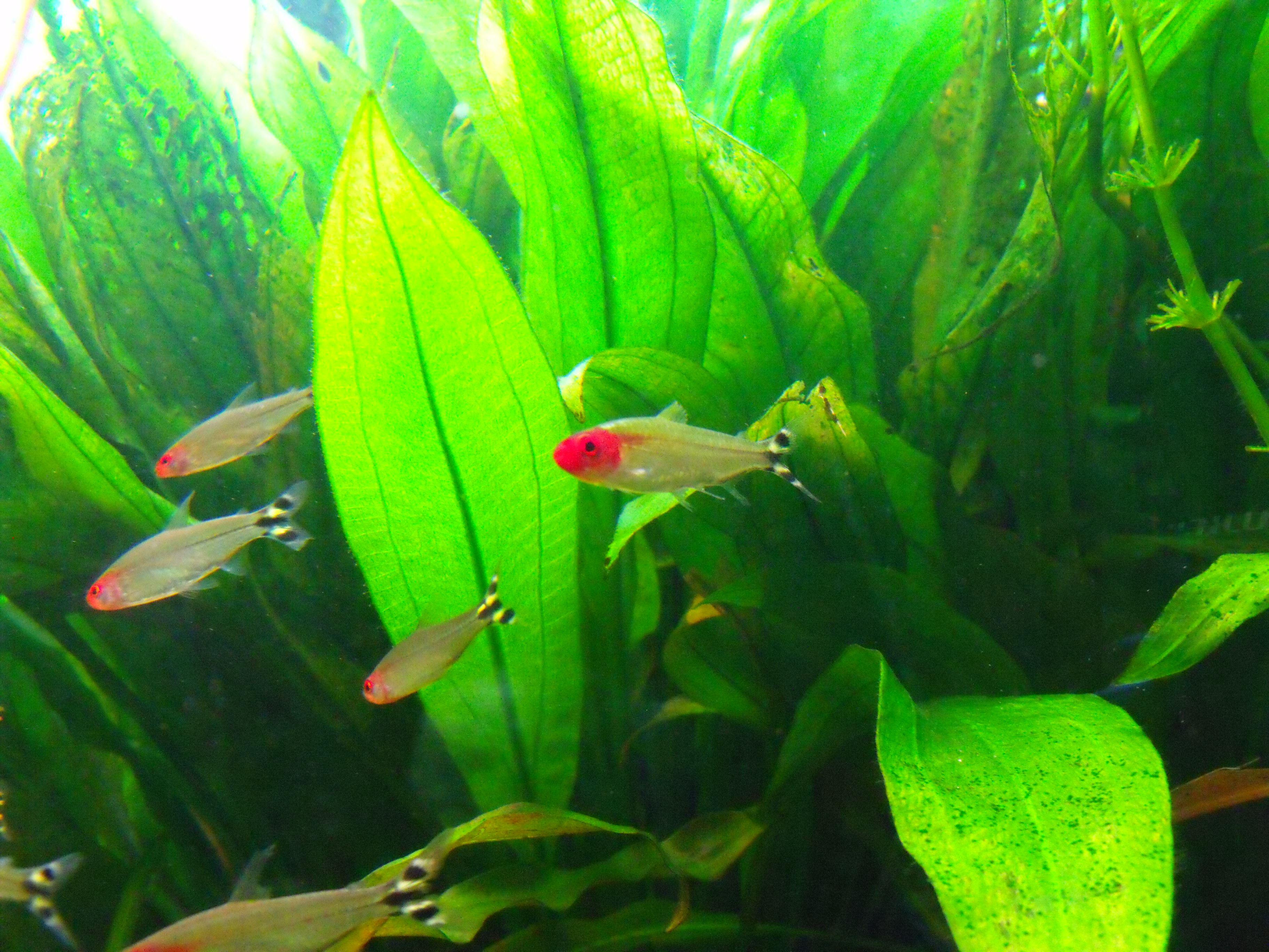 The Rummynose Tetra Hemigrammus Rhodostomus Tropical Freshwater Fish Aquarium Fish Ocean Fishing