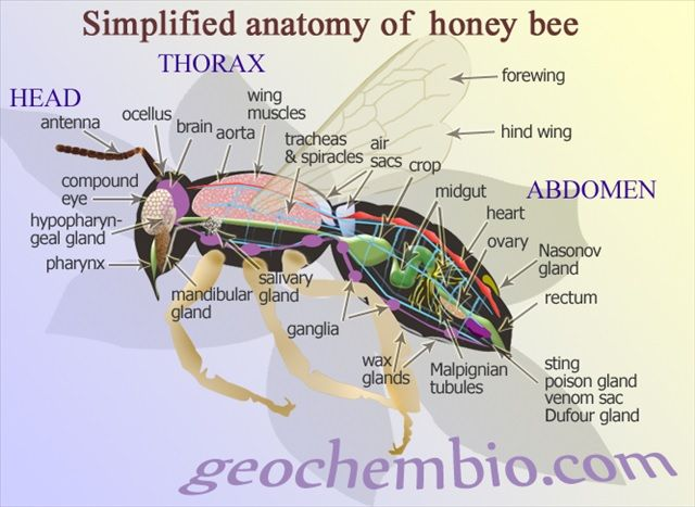 ANATOMÍA DE LA ABEJA MELÍFERA - ANATOMY OF THE BEE HONEY. | abejas ...