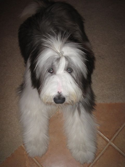 Puppy Pics Bearded Collie Puppies Bearded Collie Collie Puppies